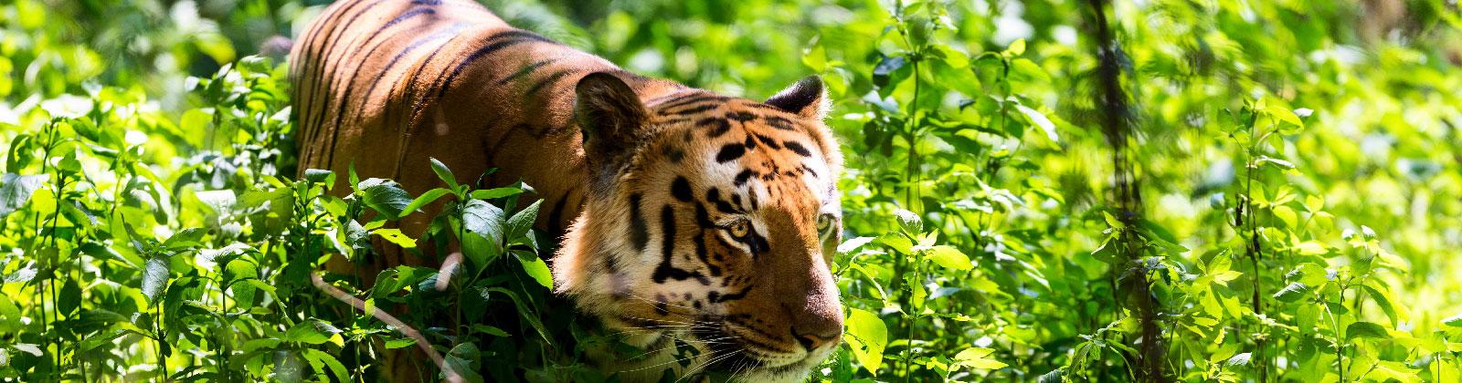 wildlife-corbett-tiger
